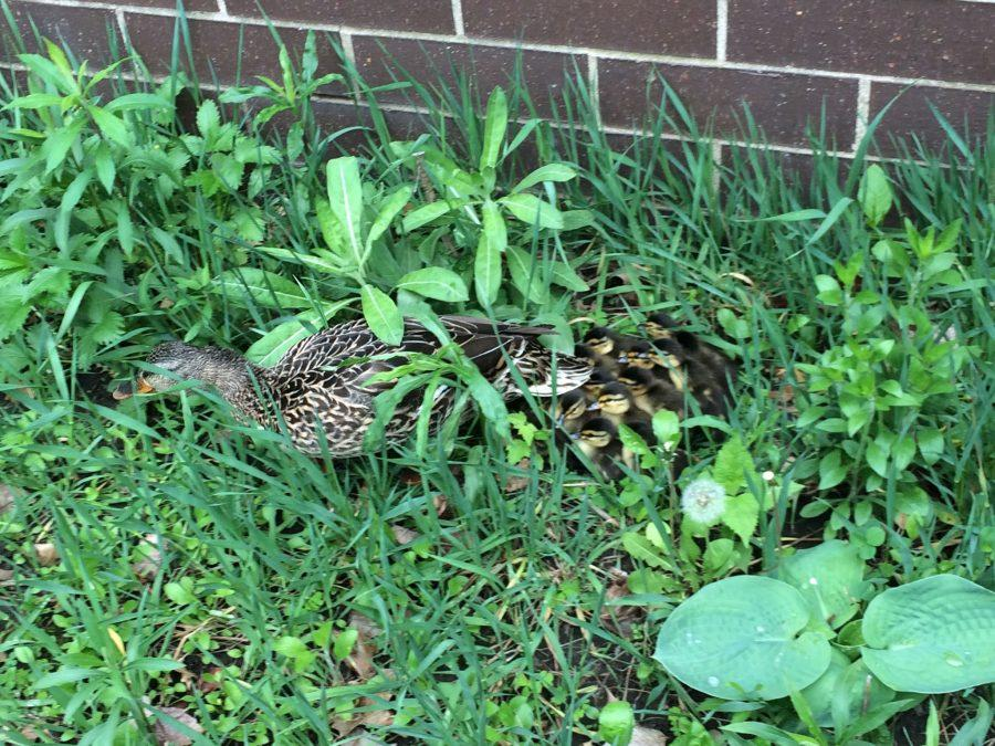 A mama duck and several ducklings take shelter in the corner of the Kennedy courtyard. They were discovered this morning and later ushered to safety.