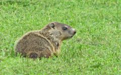 A groundhog searches for its shadow. Unfortunately, this groundhog has no authority, as it isn't Punxsutawney Phil.