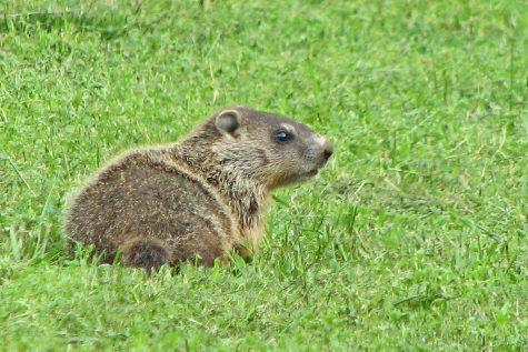 A groundhog searches for its shadow. Unfortunately, this groundhog has no authority, as it isn